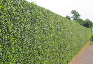 hedge-cutting-maintenance-barnes